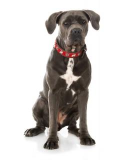 Hundehalsband mit Rosen- und Wildschwein-Beschlägen